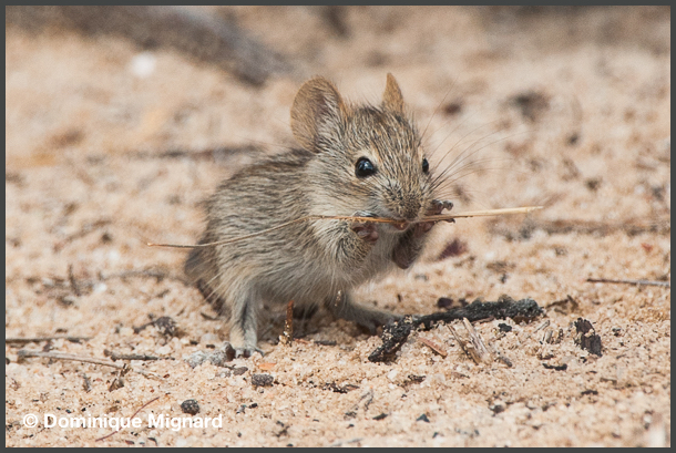 Four_Striped_Grass_Rat
