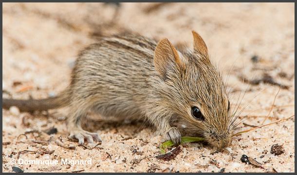 Rat_Kalahari