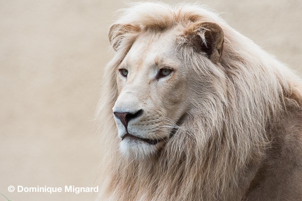 Lion_Blanc