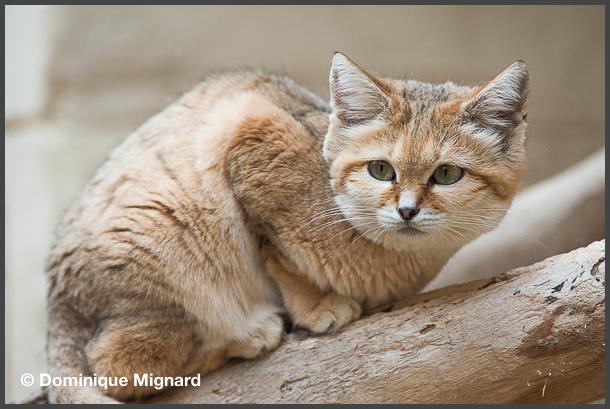 Sand_Cat