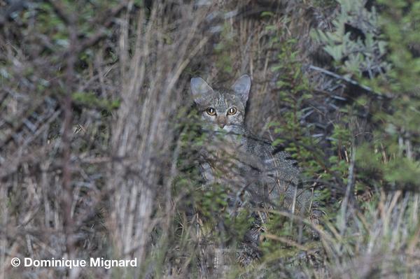 Chat sauvage africainFelis silvestris