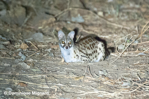 Common spotted genet
