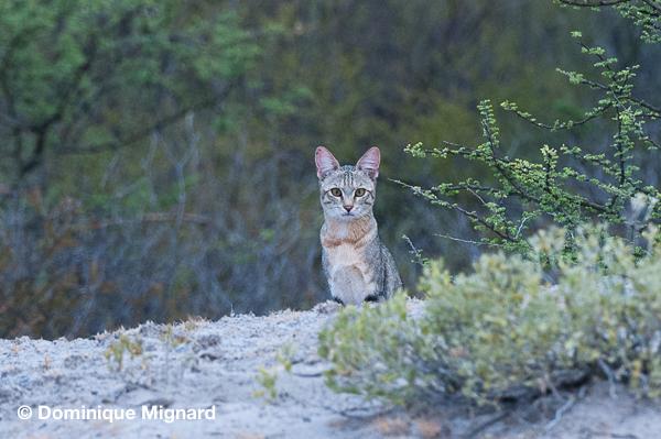 Chat sauvage africain Felis silvestris