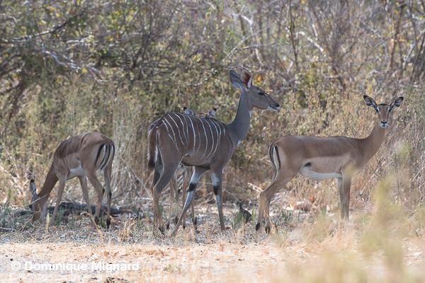 kudu_ruaha
