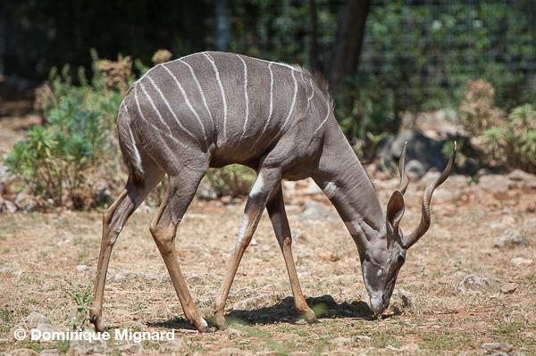 Zoo de MontpelierPetit koudou