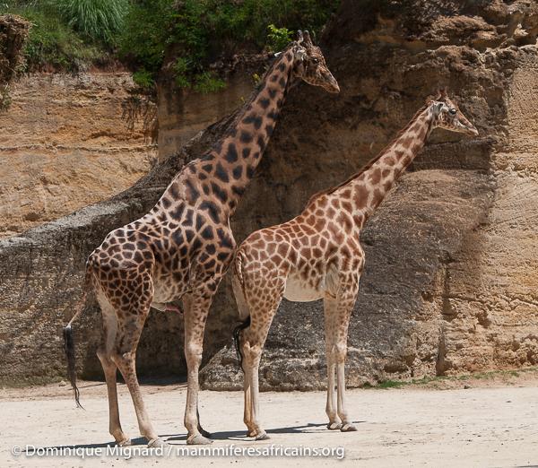 les grandes girafes