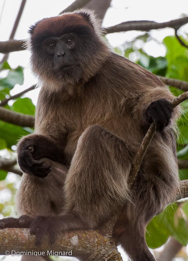 Colobe d'Ouganda