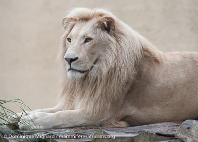 Lion panthera leo | Mammifères Africains