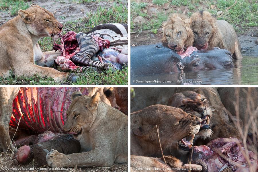Lion panthera leo