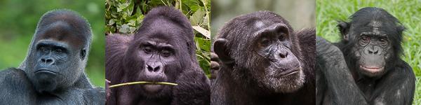 Les primates africains