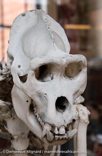 Les gorilles font partie avec les chimpanzés et bonobos des grands singes africains. Hominidés caractérisés par l'absence de queue et leur grande taille.