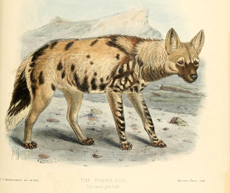 Lycaon, African Wild Dog