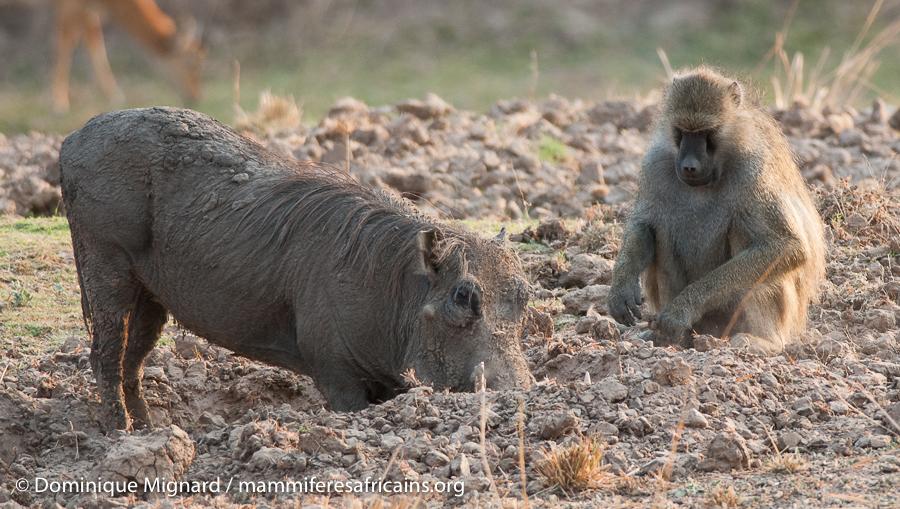 Les babouins, le genre papio