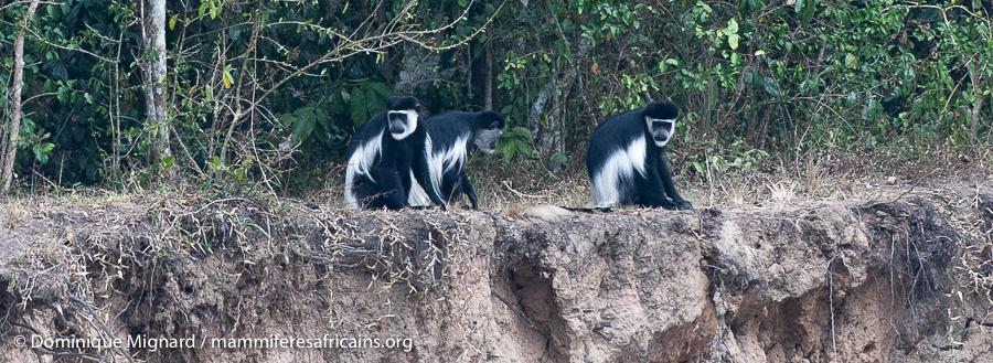 Les colobes, colobinés africains.